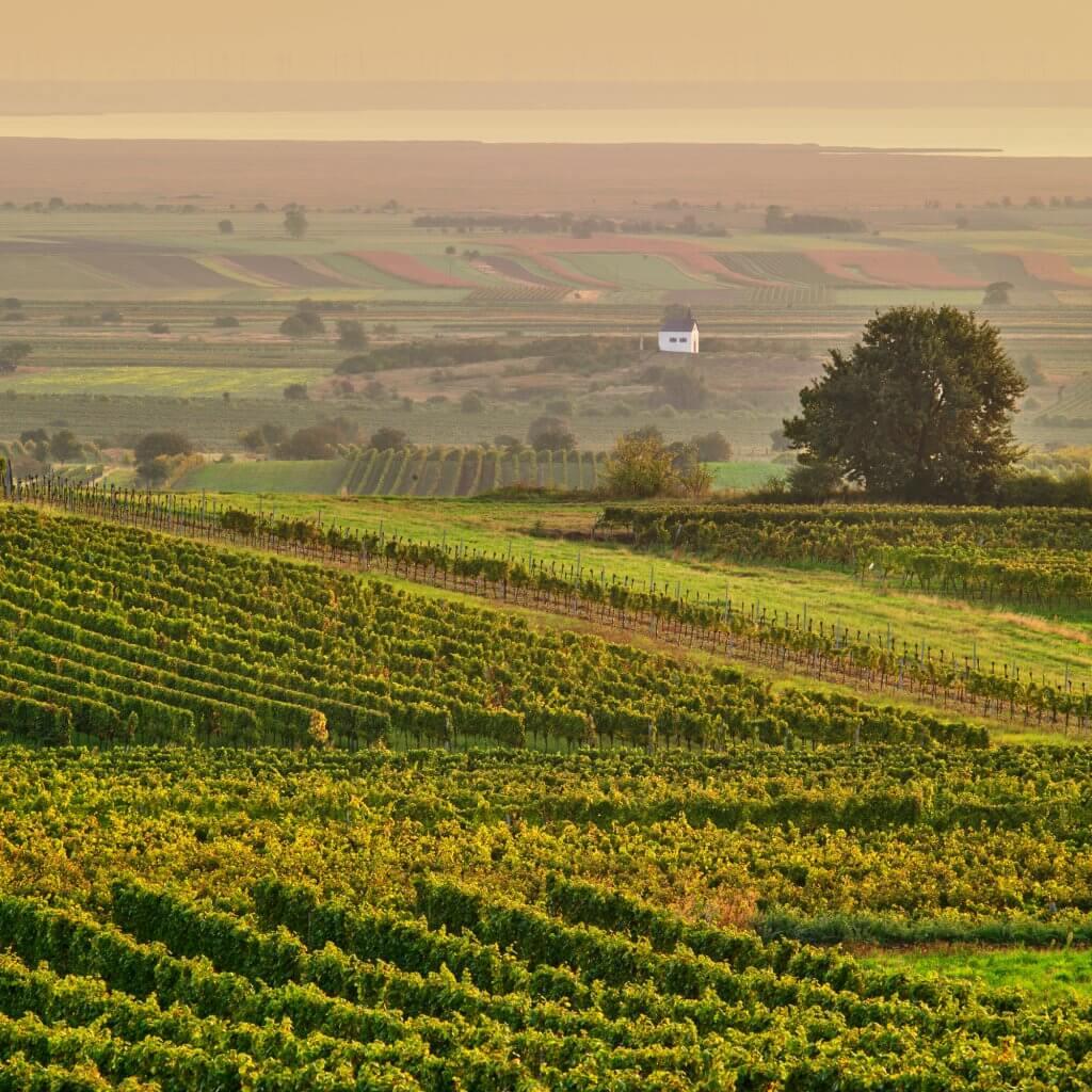 fotografie vinohrady - víno